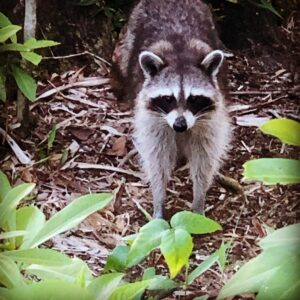 Raccoon visiting campsite